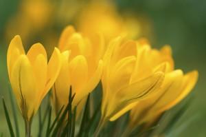 Frühjahrsblüher von GREEN Pflanzenhandel