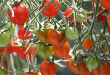 Solanum lycopersicum Tomberry Red F1