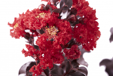 Lagerstroemia  Black Solitaire Best Red