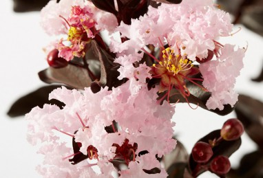 Lagerstroemia Black Solitaire Blush