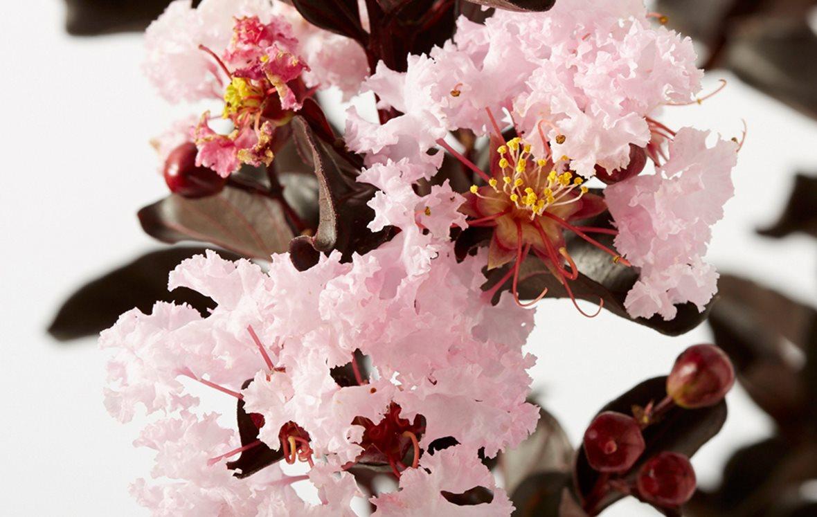 Black Diamond Crape Myrtle Shell Pink