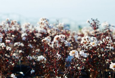 Lagerstroemia Black Solitaire Pure White