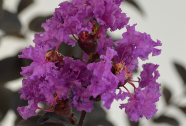 Lagerstroemia Black Solitaire Purely Purple