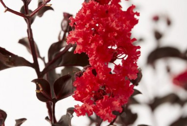 Lagerstroemia  Black Solitaire Red Hot