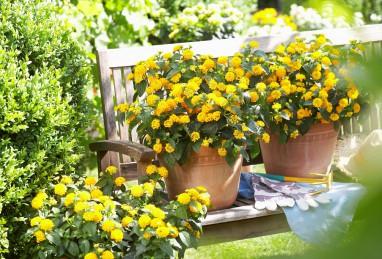 Lantana camara Evita Yellow