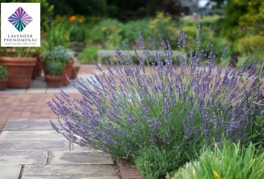 Lavandula intermedia Phenomenal