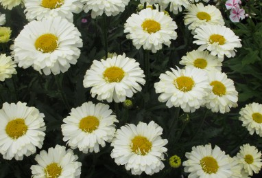 Leucanthemum Real Dream