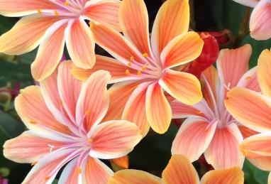 Lewisia Safira Orange