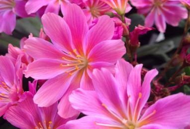 Lewisia Safira Pink