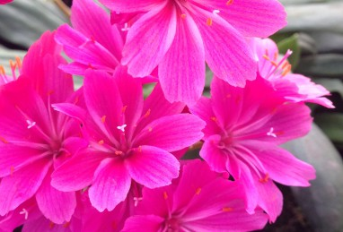Lewisia Safira Purple
