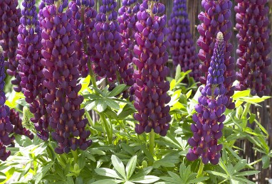 Lupinus Westcountry-Serie Masterpiece