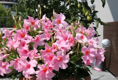 Mandevilla Diamantina Tourmaline Rose
