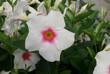 Mandevilla Diamantina Tourmaline White with Pink Eye