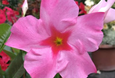 Mandevilla Diamantina Tourmaline Rose Splash
