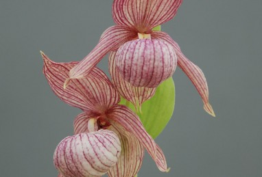 Cypripedium Michael