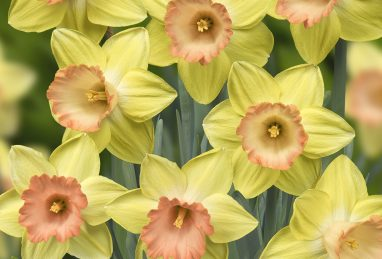 Narcissus Tickled Pinkeen