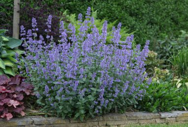 Nepeta grdfl. Summer Magic