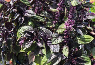 Ocimum x basilicum Calimba Red