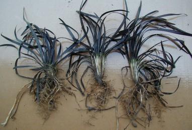 Ophiopogon plan. Niger Lpfl-RN