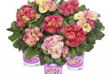 Primula Girl's Delight Pink Shades