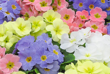 Primula Lucia F1 Sweet Mix