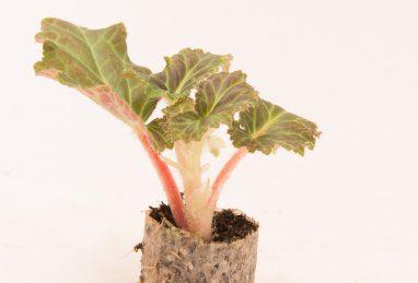 Begonienjungpflanze im Paperpot