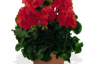 Pelargonium Survivor Idols Bright Red