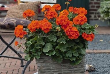 Pelargonium x zonale Savannah Oh so Orange