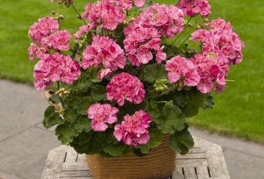 Pelargonium Survivor Idols Pink Batik