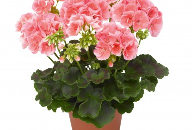Pelargonium Survivor Idols Salmon Sensation