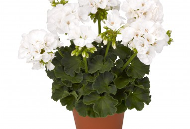 Pelargonium Survivor Idols White 2017