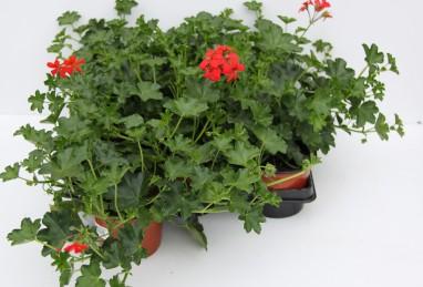 Pelargonium peltatum Ville FW T12