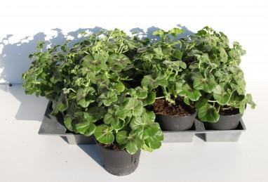 Pelargonium peltatum Royal Candy Cane T12 RW