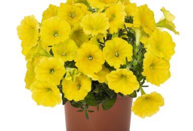 Petunia Potunia Canary Yellow