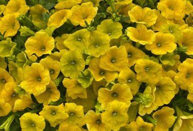 Petunia x atkinsiana aus dem Dümmen-Orange-Sortiment