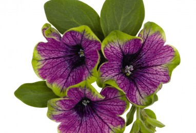 Petunia x atkinsiana Sweetunia Green Tambourine