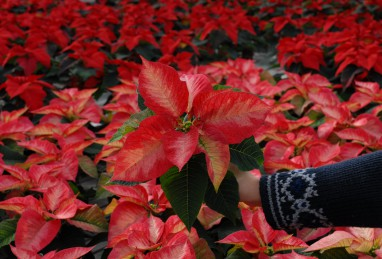 Poinsettias RED FOX Families Premium Ice Crystal