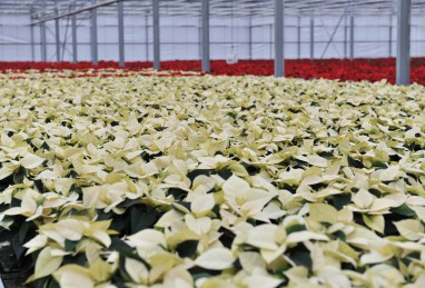 Poinsettia RED FOX Premium White