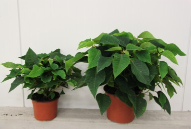 Poinsettien-Busch T17 und T24 RW