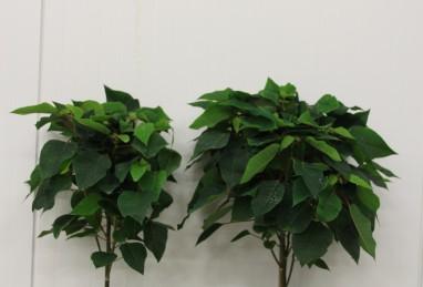 Poinsettien-Stamm T17 und T24 RW