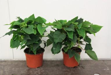 Poinsettien T17 RW
