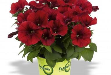 Petunia x atkinsiana Potunia Dark Red