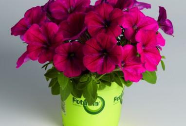 Potunia Neon
