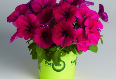 Petunia x atkinsiana Potunia Neon