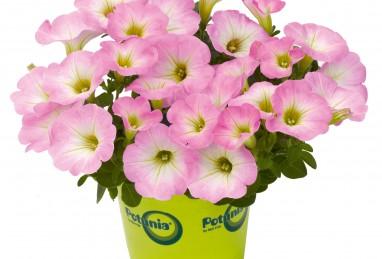 Petunia x atkinsiana Potunia Piccola Pink