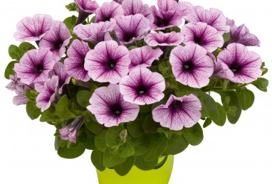 Petunia x atkinsiana Potunia Piccola Purple Ice