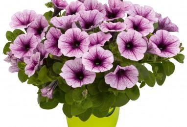 Potunia Piccola Purple Ice