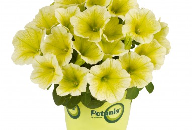 Petunia x atkinsiana Potunia Plus Yellow