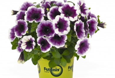 Petunia x atkinsiana Potunia Plus Purple Halo