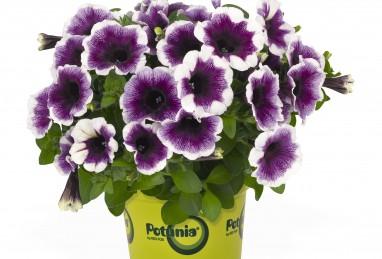 Potunia Purple Halo